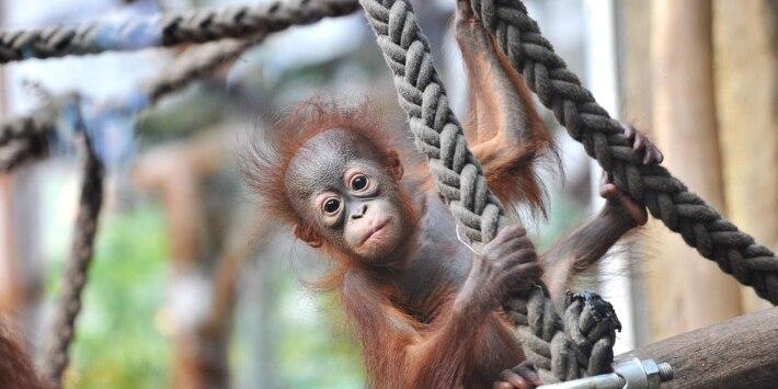 Organ-Utan-Baby im Zoo Rostock