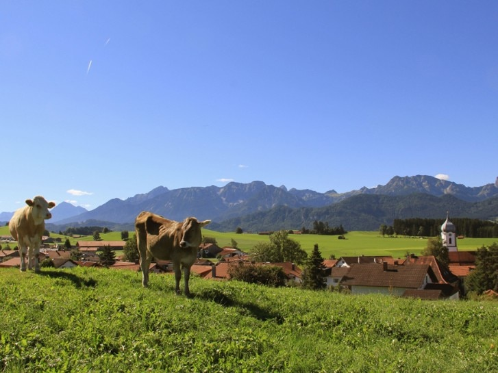 Wiese im Allgäu  mit Kühen