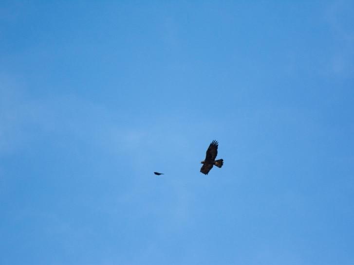 Adler und Dohle