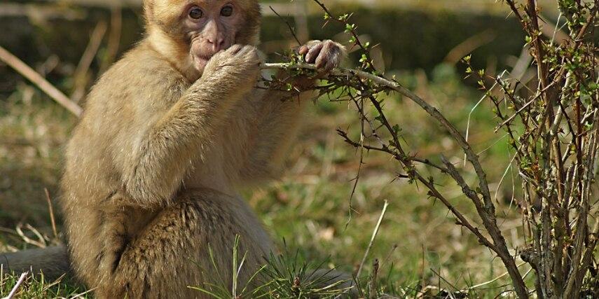 Junger Affe mit Strauch im Tierpark Neumünster