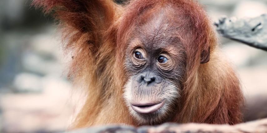 Organ-Utan im Zoo Dresden