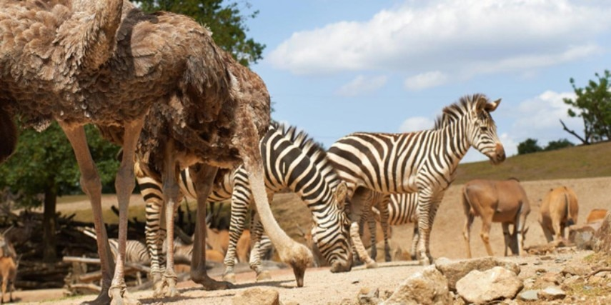 Zebra und Strauß