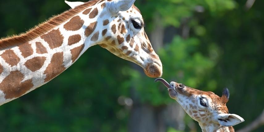 Rothschild Giraffen-Nachwuchs Henri mit Schwester Ella