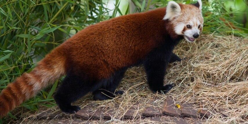 Kleiner Panda im Zoo Krefeld