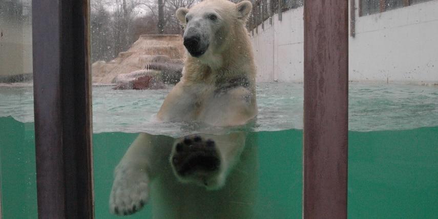 Eisbär an der Scheibe im Tierpark Neumünster