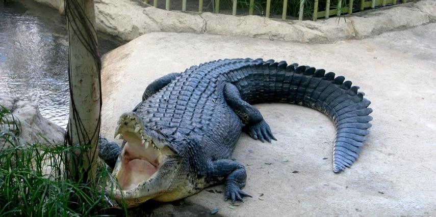 Leistenkrokodil im Zoo Dresden