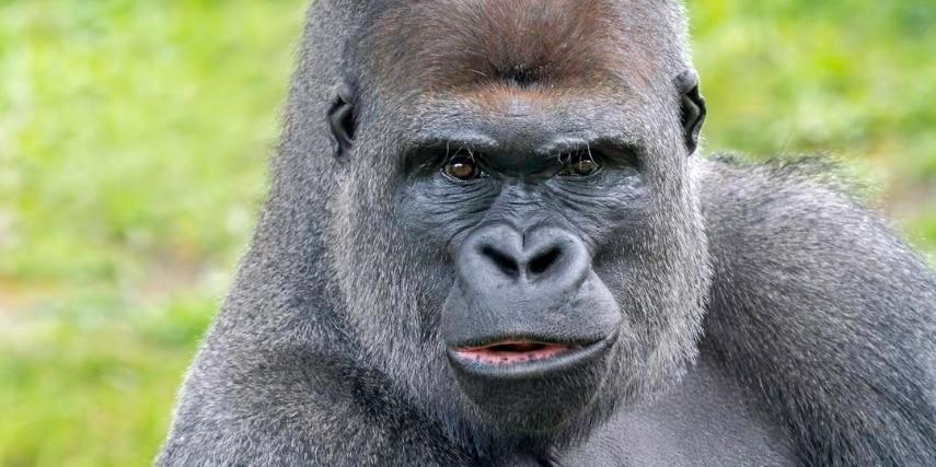 Westlicher Flachland-Gorilla Sango