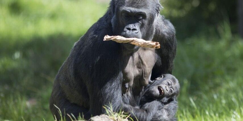 Gorilla mit Baby im Zoo Krefeld