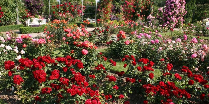 Rosen im Europa-Rosarium