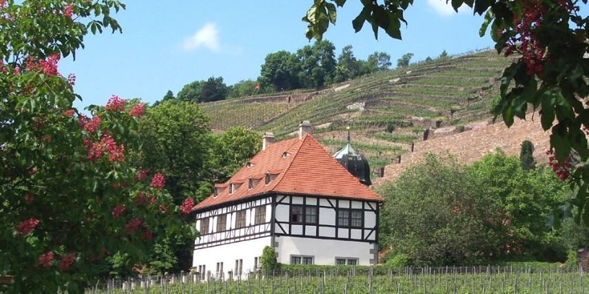 Hoflößnitz zur Kastanienblüte