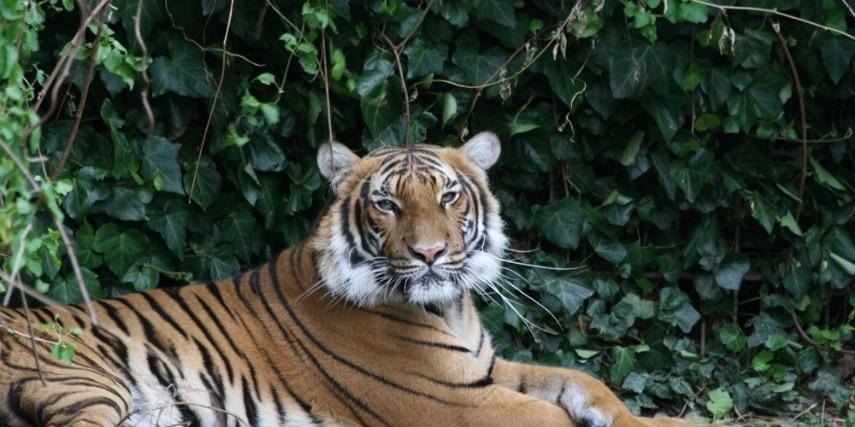 Tiger liegt auf der Wiese im Zoo Dortmund
