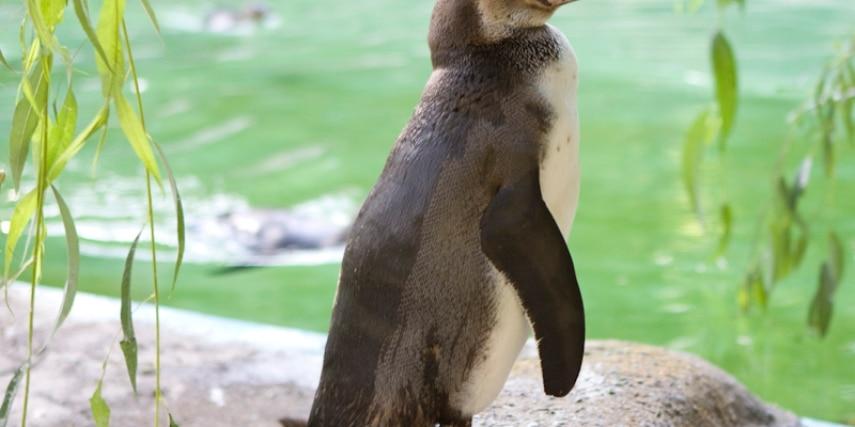 Pinguin im Tierpark Neumünster
