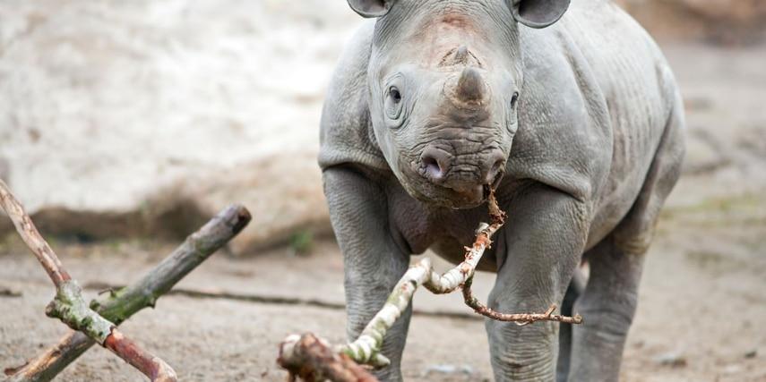 Nashorn im Zoo Krefeld
