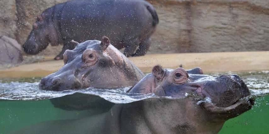 Nilpferde im Kölner Zoo