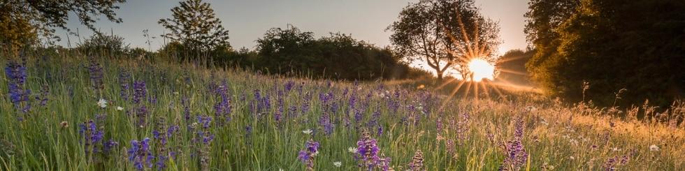 Blumenwiese im Bliesgau bei Abendsonne